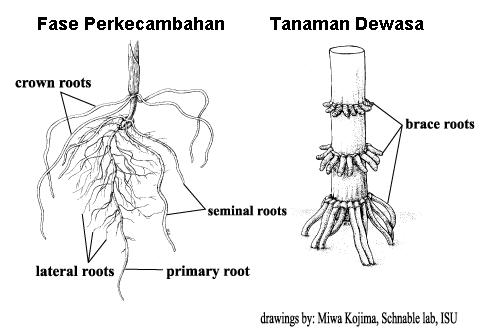 Morfologi Tanaman Jagung Jagungbisi Com