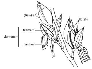 Morfologi tanaman jagung jagungbisi rambut ccuart Image collections