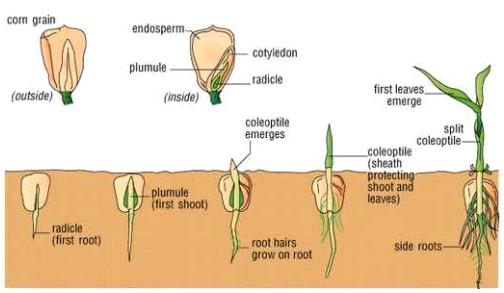 Smut of sweet corn benih jagung umumnya ditanam pada kedalaman 5 8 cm bila kelembaban tepat pemunculan kecambah seragam dalam 4 5 hari setelah tanam ccuart Images