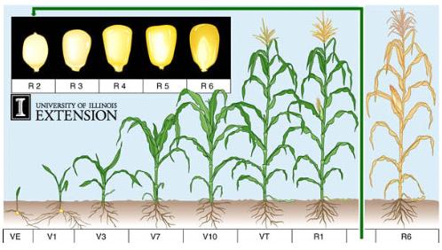 Vegg tanaman mulai menyerap hara dalam jumlah yang lebih banyak karena itu pemupukan pada fase ini diperlukan untuk mencukupi kebutuhan hara bagi tanaman ccuart Choice Image
