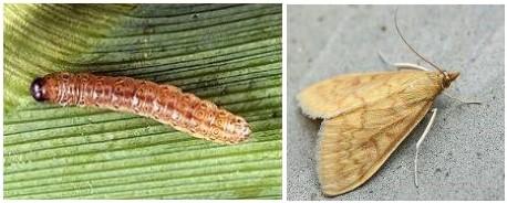 larva-imago